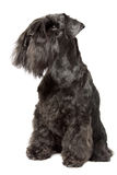 Miniature Schnauzer black Royalty Free Stock Photos