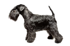 Miniature Schnauzer black Stock Photos