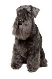 Miniature Schnauzer black Royalty Free Stock Photo