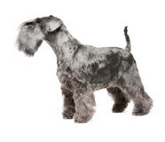 Miniature Schnauzer black Royalty Free Stock Images