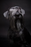 Miniature Schnauzer on black Royalty Free Stock Images