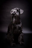 Miniature Schnauzer on black Royalty Free Stock Photos