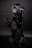 Miniature Schnauzer on black Stock Images