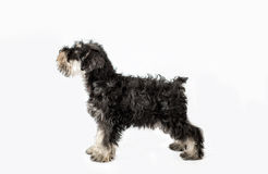 Miniature Schnauzer black isolated over Stock Image