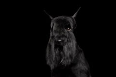 Miniature Schnauzer on Black. Portrait of Miniature Schnauzer Dog, peek one eye, on Isolated Black Background, Front view royalty free stock photography