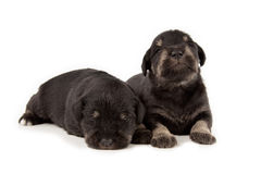 Miniature Schnauzer black puppies Royalty Free Stock Image