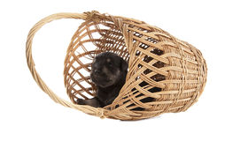 Miniature Schnauzer black puppy Royalty Free Stock Photo