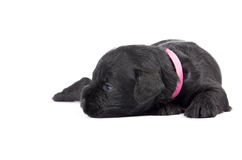 Miniature Schnauzer black puppy Stock Photos