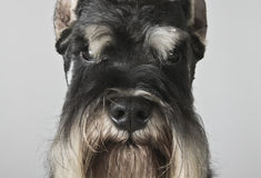Miniature schnauzer black and silver portrait Royalty Free Stock Photo