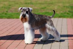 Miniature Schnauzer breed dog. Dog breed Miniature Schnauzer close up on the pavement stock photography