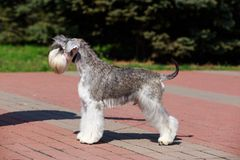 Miniature Schnauzer breed dog. Dog breed Miniature Schnauzer close up on the pavement stock image