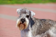 Miniature Schnauzer breed dog. Dog breed Miniature Schnauzer close up on the pavement royalty free stock photo