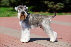 Miniature Schnauzer breed dog. Dog breed Miniature Schnauzer close up on the pavement stock images