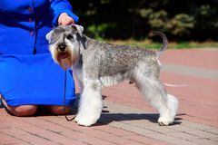 Miniature Schnauzer breed dog. Dog breed Miniature Schnauzer close up on the pavement royalty free stock photos