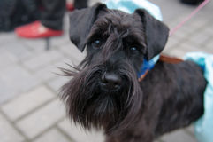 Miniature Schnauzer. The Miniature Schnauzer is a breed of small dog of the Schnauzer type stock photography