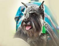 Miniature schnauzer casual portrait outdoor Royalty Free Stock Image