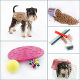 Miniature Schnauzer collage. Collage of Miniature Schnauzer with pet equipment for play and travel Royalty Free Stock Photo
