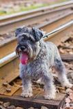 Miniature Schnauzer dog stock images