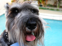 Miniature schnauzer dog Royalty Free Stock Photo