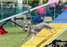 Miniature Schnauzer at Dog Agility Trial royalty free stock photos