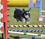 Miniature Schnauzer at Dog Agility Trial royalty free stock photo