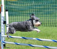 Miniature Schnauzer at Dog Agility Trial Stock Image