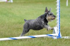 Miniature Schnauzer at Dog Agility Trial. Miniature Schnauzer Leaping Over a Jump at Dog Agility Trial royalty free stock photography