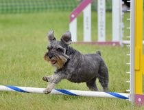 Miniature Schnauzer at Dog Agility Trial. Miniature Schnauzer Leaping Over a Jump at Dog Agility Trial royalty free stock photos