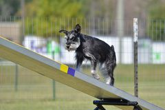 Miniature Schnauzer at Dog Agility Trial stock images