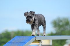 Miniature Schnauzer at Dog Agility Trial Stock Photos