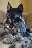 Miniature schnauzer dog Royalty Free Stock Image