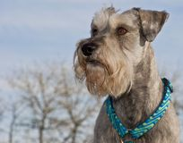 Miniature schnauzer dog and blue skies. A salt and pepper miniature schnauzer standing in the right hand cornor of the portrait with blue skies in the background stock photography