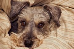 Miniature schnauzer dog bundled in blankets. Miniature schnauzer dog peeking out of the blankets bundled around his head stock images