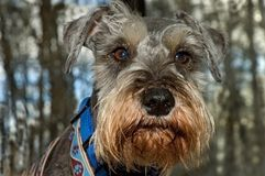 Miniature schnauzer dog close up outdoors royalty free stock image