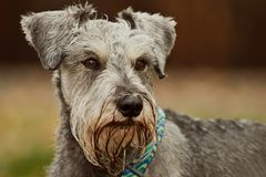 Miniature schnauzer dog close up outdoors. Miniature schnauzer dog posed outdoors. Shallow depth of field royalty free stock image