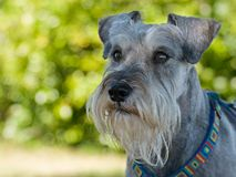 Miniature schnauzer dog focused. Miniature schnauzer dog exhibiting focus and concentration green natural background stock photography