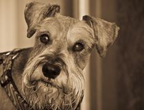 Miniature schnauzer dog head shot. Miniature schnauzer dog with a wet beard facing the camera royalty free stock image