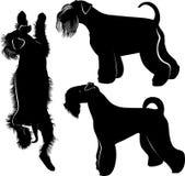 miniature schnauzer. Miniature Schnauzer dog. isolated on white background Royalty Free Stock Photos