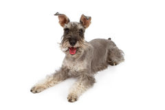 Miniature Schnauzer Dog Laying Down Stock Photos