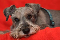 Miniature schnauzer dog laying on red blanket. A miniature schnauzer dog laying on a red blanket royalty free stock photos