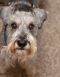 Miniature schnauzer  dog looking up Stock Images