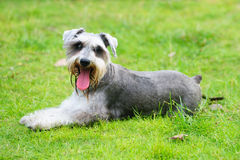 Miniature schnauzer dog lying on the lawn Stock Photo