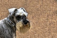 Schnauzer puppy dog stock image