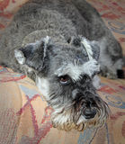 Miniature schnauzer dog Stock Images