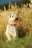 Miniature Schnauzer dog portrait. Portrait of Miniature Schnauzer dog Stock Photos
