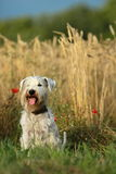 Miniature Schnauzer dog portrait Royalty Free Stock Photo