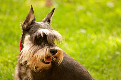 Miniature schnauzer dog Stock Photo
