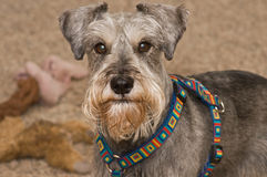 Miniature schnauzer dog portrait indoors. A salt and pepper miniature schnauzer dog posing in front of a plie of dog toys royalty free stock photography