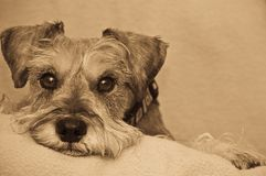 Miniature schnauzer dog resting on blanket. Miniature schnauzer dog resting his head on a blanket indoors. This shot is done in black and white and antiqued stock photos