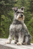 Miniature Schnauzer Dog Sits on Table Royalty Free Stock Photo